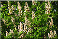 NJ3459 : Horse Chestnut (Aesculus hippocastanum) by Anne Burgess
