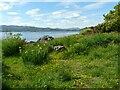 NS2074 : Yellow flowers beside the coastal path by Richard Sutcliffe