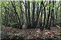 TQ8522 : Coppicing, Bixley Wood by N Chadwick