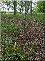 TF0820 : Bluebell seedpods by Bob Harvey