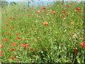 TQ4780 : Poppies near South Mere by Marathon