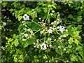 TF0820 : Bramble in hedge by Bob Harvey