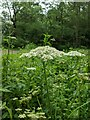 TF0820 : Hemlock flower by Bob Harvey