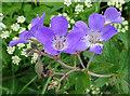 NJ2442 : Wood Cranesbill (Geranium sylvaticum) by Anne Burgess