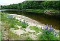 NJ2542 : Lupins by the River Spey by Anne Burgess
