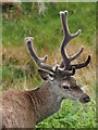 NC1232 : A young stag's head by Graham Hogg