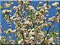 TQ0658 : Wisley - Apple Blossom by Colin Smith