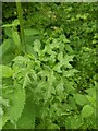 TF0820 : Heracleum sphondylium - the leaves and stem by Bob Harvey