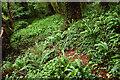 SX9267 : Ferns above Watcombe Beach Road by Derek Harper