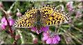 NJ4749 : Small Pearl-bordered Fritillary (Boloria selene) by Anne Burgess