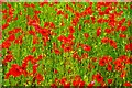 SO8074 : Close-up of poppies in field, Droppingwells Farm, near Bewdley, Worcs by P L Chadwick