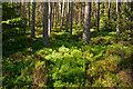NH6257 : Bilberry bushes in Bogbuie Wood by Julian Paren