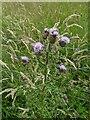 TF0820 : Thistle flowers by Bob Harvey