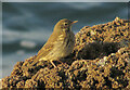 SX9563 : Young rock pipit on the rocks, Hope's Nose by Derek Harper