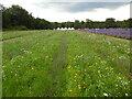 TQ2761 : Wildflower Lawn at Mayfield Lavender Farm by David Hillas