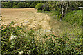 SJ3010 : Hedgerow and cereal field by P Gaskell
