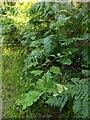 TF0820 : Burdock by the path by Bob Harvey