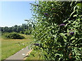 TQ4577 : Buddleia on East Wickham Open Space by Marathon