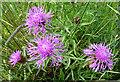 NJ4362 : Rayed form of Knapweed (Centaurea nigra) by Anne Burgess