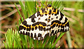 NJ2853 : Magpie Moth (Abraxis grossulariata) by Anne Burgess