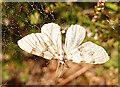 NJ2752 : Moth of unknown species by Anne Burgess
