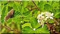 NH6350 : Ringlet Butterfly on brambles, Allanglachwood, Black Isle by Julian Paren