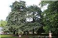 ST3996 : Conifers in Llantrisant churchyard by M J Roscoe