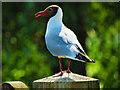 SO7204 : Black-headed Gull at Slimbridge by David Dixon