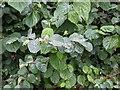 TF0820 : Waxy leaves by Bob Harvey