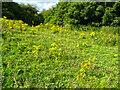 SE1729 : A field full of ragwort, Bierley by Humphrey Bolton