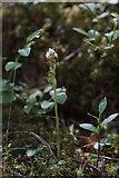 NH9718 : Creeping Lady's Tresses (Goodyeria repens), Loch Garten by Mike Pennington