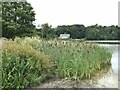 SJ4332 : Bulrushes on Colemere by Oliver Dixon