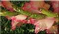 SX9065 : Raindrops on gladiolus by Derek Harper