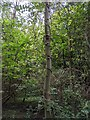 TF0820 : Honeysuckle vine by Bob Harvey
