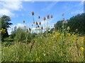 TQ4577 : Teasel on East Wickham Open Space by Marathon