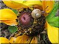 TQ2081 : Baby of  garden snail  (Cornu aspersum) on rudbeckia flower by David Hawgood
