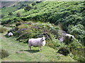SO4293 : Sheep by the stream... by Bill Harrison