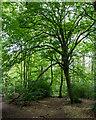 TL3105 : Westfield Grove, Broxbourne Woods National Nature Reserve by Roger Jones