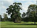SE8675 : Fallen branch, Spanish chestnut tree by Christine Johnstone