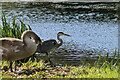 SE2336 : Heron and Swan Cygnet at Rodley Nature Reserve by David Goodall