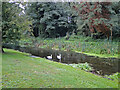 TL9374 : Swans on the headrace at Bardwell watermill by Adrian S Pye