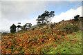 SD4485 : Birches and bracken on Whitbarrow Scar by Andy Waddington