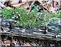 TQ7819 : Dead man's fingers fungi with tops missing, Killingan Wood by Patrick Roper