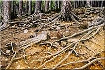 NH9617 : Abernethy Forest by Anne Burgess