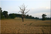 TL8162 : Lonely trees in Ickworth Park by Bob Jones
