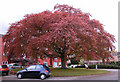 SJ7790 : Copper Beech Tree, Woodhey Court, Alma Road, Sale by Andrew Huggett