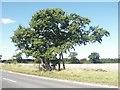 TG1303 : Kett's Oak, Hethersett by Katy Walters