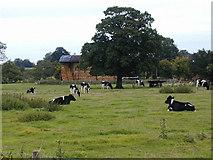 SJ5226 : Friesian cows at Wain House Farm by Bob Bowyer