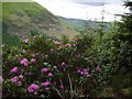 SH8515 : Rhododendron in front of Foel Benddin by Rudi Winter