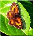 SK5243 : Gatekeeper (Pyronia tithonus), male. by Lynne Kirton